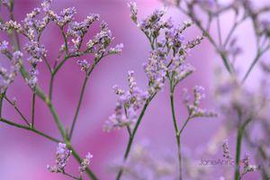 Purple-Limonium--JABP1431.jpg