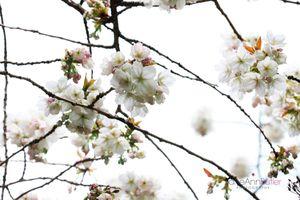 Early-Japanese-Cherry--JABP1019.jpg
