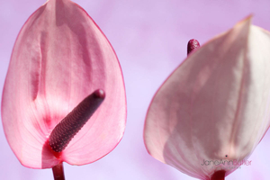 Talking-Heads---Anthurium--JABP1398.jpg