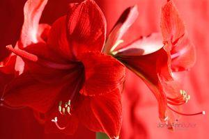 Amaryllis-Crown--JABP1514.jpg
