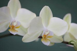 Pale-Yellow-Moth-Orchid-Stem--JABP1500.jpg