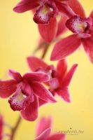 Pink-Cymbidium-Flowers---Carefree--JABP1507.jpg