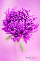 Perfect-Lilac-Aster--JABP865.jpg