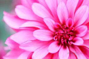 Pink-Dahlia-Heart--JABP1542.jpg