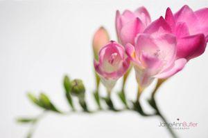 Fragrant-Pink-Freesia--JABP1485.jpg