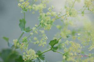 Alchemilla-Mollis-'Robustica'--JABP1481.jpg