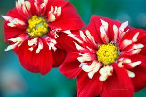 Two-Red-Dahlias--JABP1530.jpg