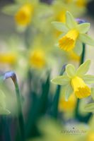 Easter-Daffodils--JABP1172.jpg