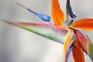 Exotic-Crane-Flower--JABP1416.jpg