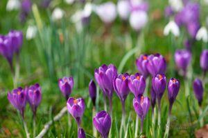 Spring-Crocus-and-Snowdrops-II--JABP1195.jpg