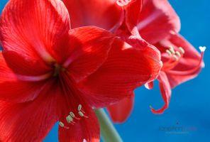 Red-Amaryllis-on-Blue--JABP1513.jpg