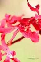 Hot-Pink-Azima-Orchid-on-Green--JABP564.jpg