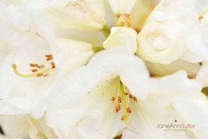 Lemon-Dream-Cluster-JABP827.jpg