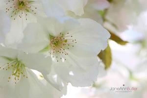 Japanese-Cherry-Tai-Haku--JABP440.jpg