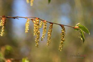 Hornbeam-in-Spring--JABP1306.jpg