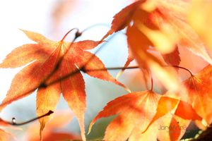 Autumn-Maple-Dance--JABP1827.jpg