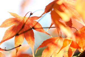 Autumn-Maple-Dance--JABP1827.jpg