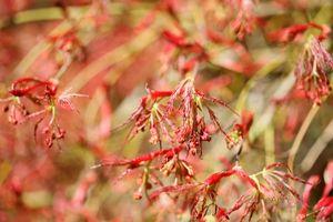 Red-Maple-Budding--JABP1309.jpg