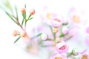Waxflower-II--JABP404.jpg