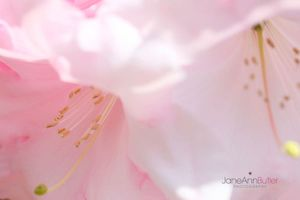 Rhododendron-Birthday-Girl--JABP786.jpg