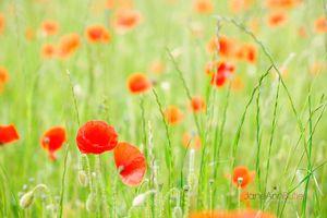 Serene-Poppies--JABP843.jpg