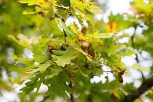 Acorns-in-an-Oak-Tree--JABP1287.jpg