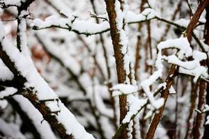 Snow-Capped-Cherry-Branches--JABP957.jpg