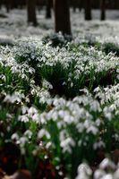 Snowdrops-and-Beech-Trees--JABP1160.jpg