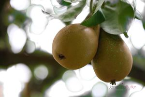 Pair-of-Pears--JABP612.jpg
