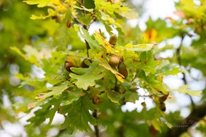 Acorns-in-an-Oak-Tree--JABP1287.jpg