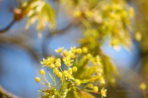 Acer-Buds-in-Spring--JABP1295.jpg