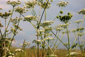 Hogweed-in-the-Countryside--JABP1368.jpg