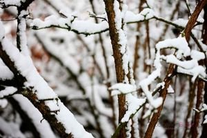 Snow-Capped-Cherry-Branches--JABP957.jpg