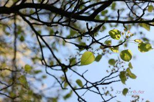Pear-leaf-perfection--JABP1305.jpg