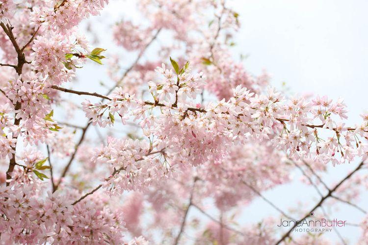 Spring-Cherry-Tree--JABP773.jpg