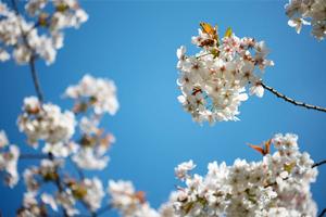 Spring-Blossom--JABP1282.jpg
