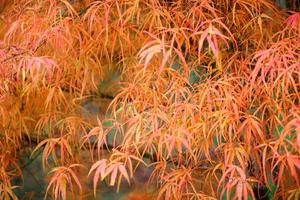 Koto-No-Ito-Tree--JABP933.jpg
