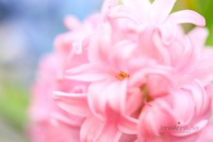 Pink-Pearl-Winter-Hyacinth--JABP370.jpg