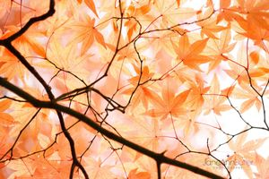 Japanese-Maple-Canopy--JABP948.jpg