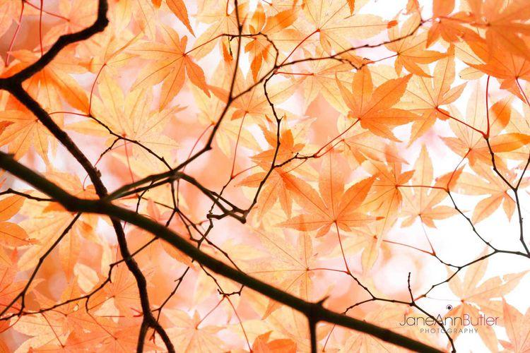 Japanese-Maple-Canopy--JABP948.jpg