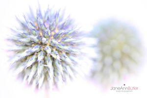 Echinops--JABP1490.jpg