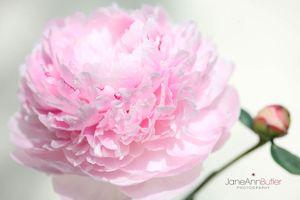 Pink-Peony-and-Bud--JABP1411.jpg