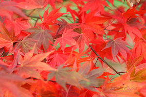 Bright-Autumn-Maple-Leaves--JABP1289.jpg
