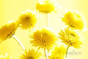 Yellow-Santini--JABP1522.jpg