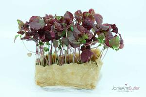 Micro-Salad--JABPF030.jpg