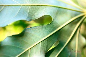 Japanese-Aralia-Leaf--JABP895.jpg