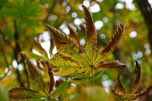Horse-Chestnut-Autumn-Leaves--JABP1097--.jpg