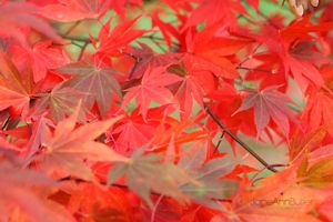 Bright-Autumn-Maple-Leaves--JABP1289.jpg