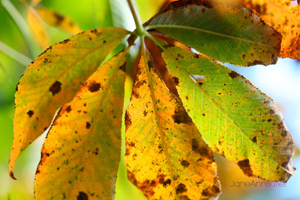 Autumn-Horse-Chestnut-Leaf-JABP1343.jpg