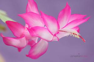Pink-and-White-Christmas-Cactus--JABP1199.jpg